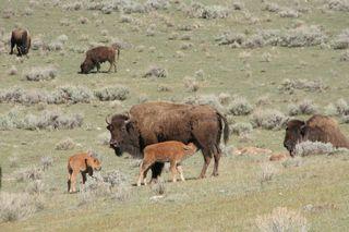 Yellowstone 5-16-10 036